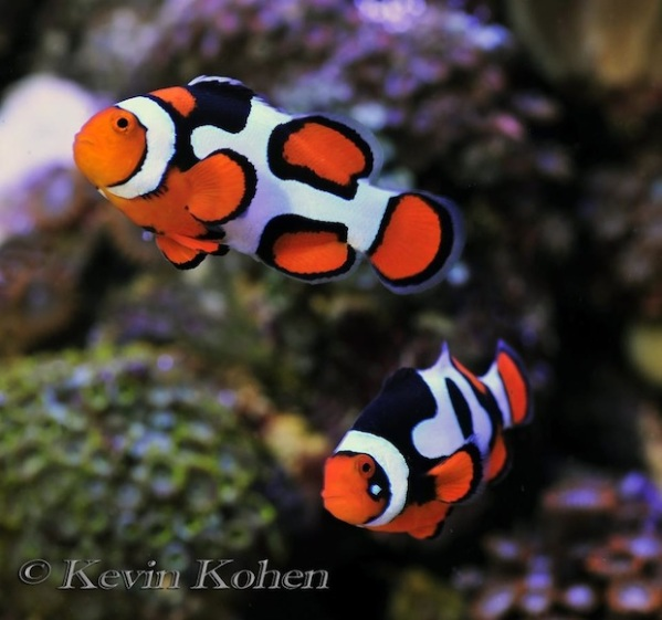 picasso-clownfish