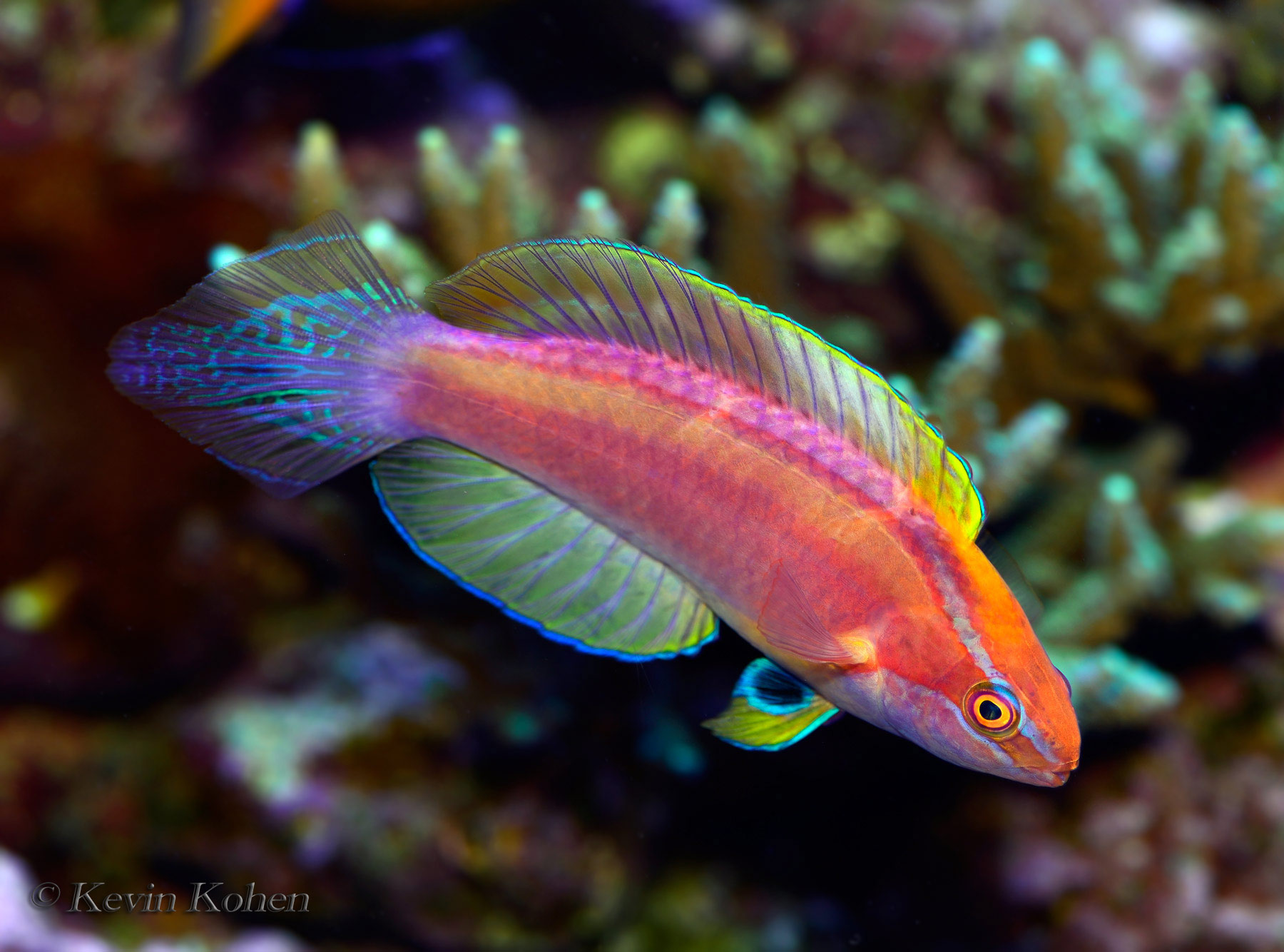 Rose Band Fairy Wrasse Male (Cirrhilabrus roseafascia)