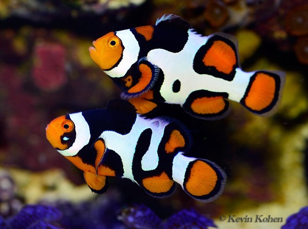 ORA-Picasso-Clownfish-Pair