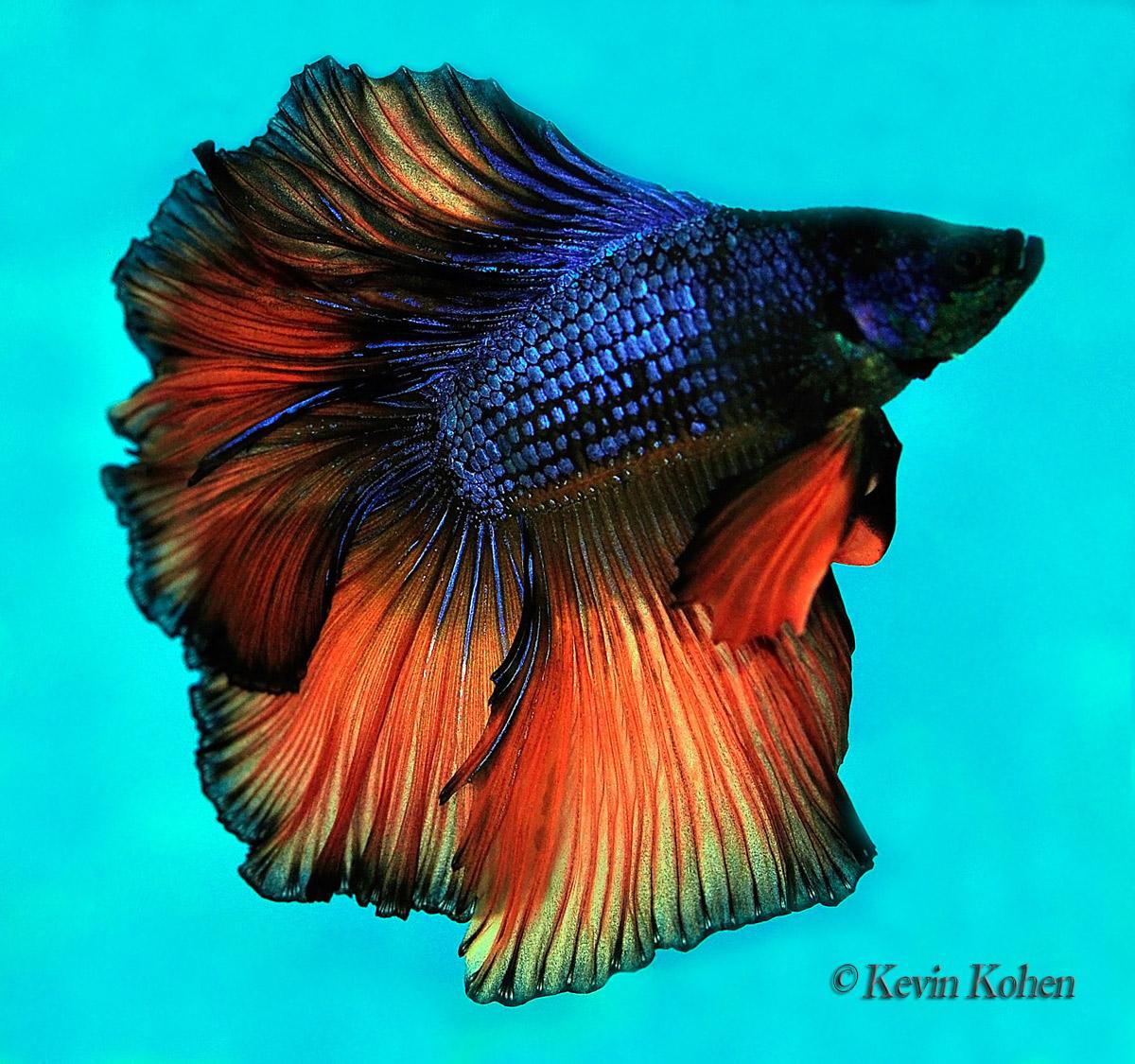 Rosetail Siamese Fighting Fish (Betta splendens) | Rare Freshwater Fish