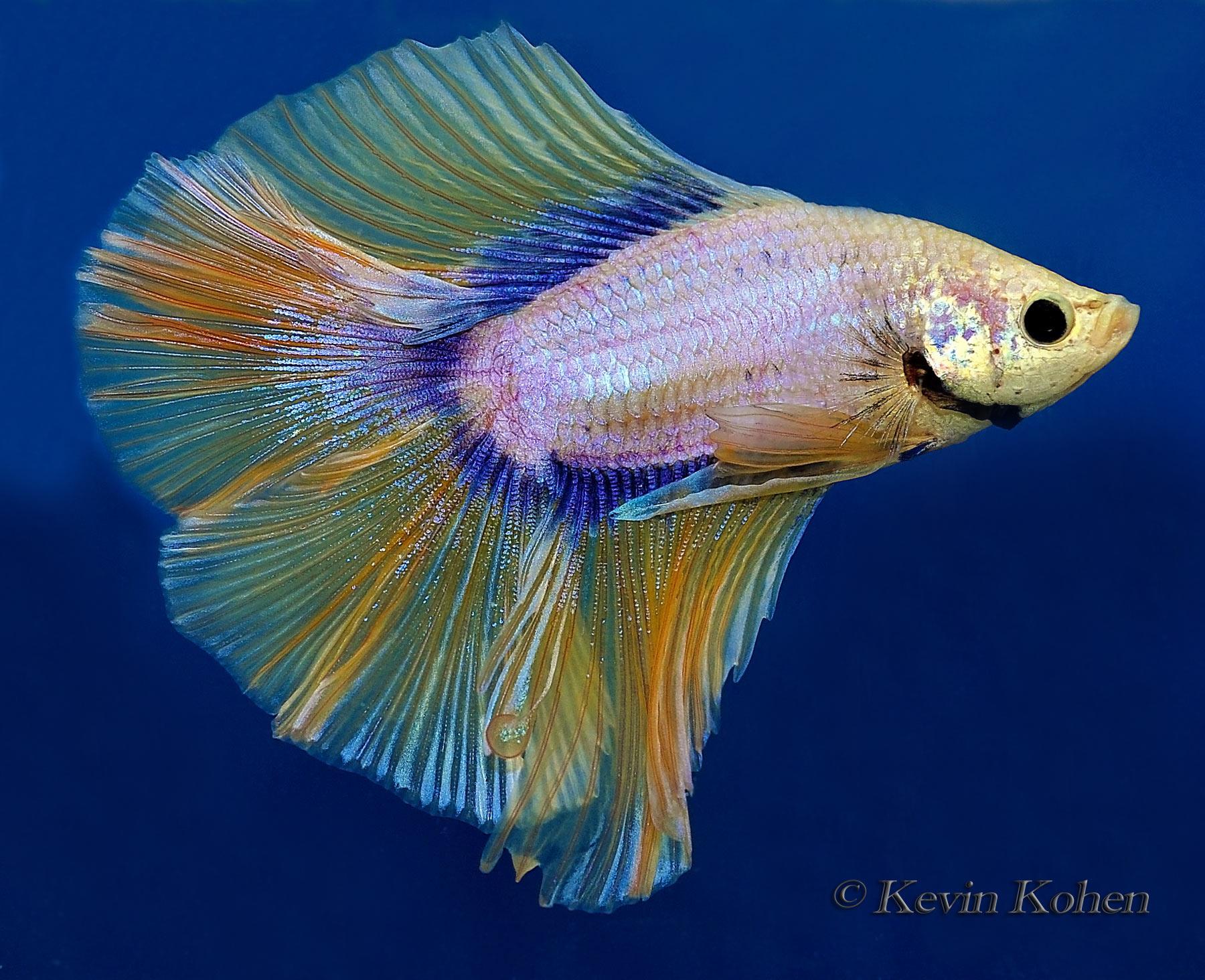 Rosetail siamese fighting fish betta splendens for Betta fighting fish