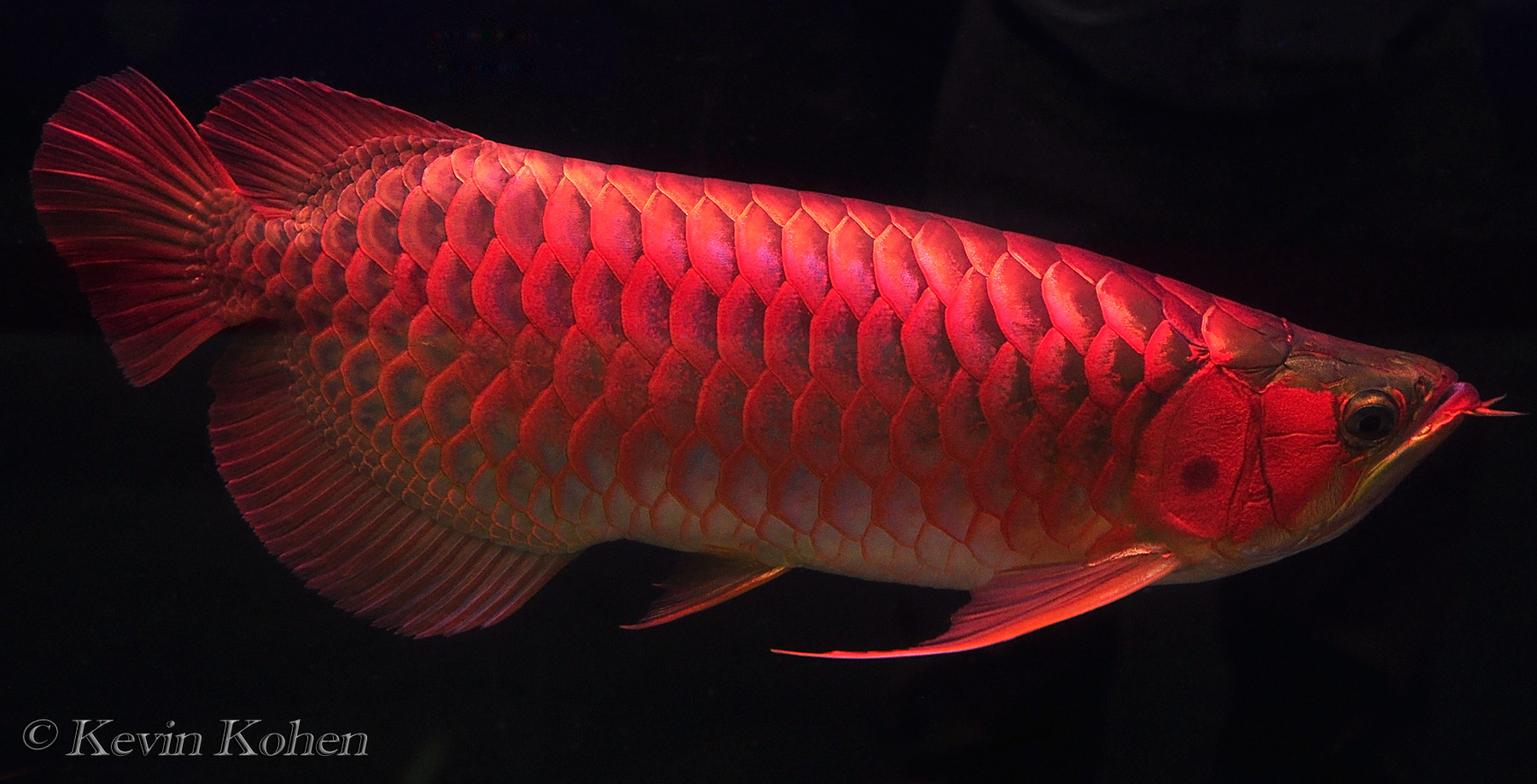 red dragon fish asian arowana scleropages formosus