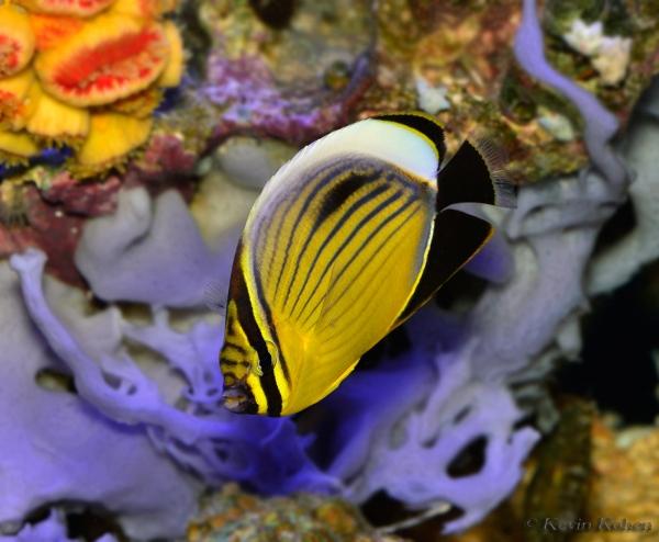Exquisite-Butterflyfish-Chaetodon-austriacus-102013-561
