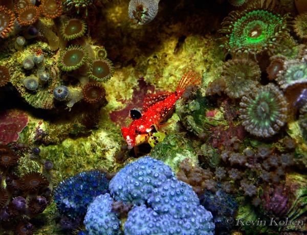 Ruby-Red-Dragonet-102013-006